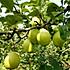 研究做饭的卖梨人